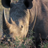 A rhino horn is worth up to $NZ650,000. Photo / P.K Stowers
