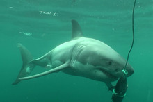 The Unnamed great white shark at Chesterfield Reef. Photo / Clinton Duffy/DoC
