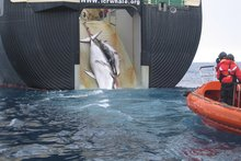 Two whales are hauled aboard the factory ship Nisshin Maru. Photo / Australian Custom Service