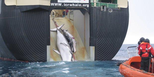 Two whales are hauled aboard the factory ship Nisshin Maru. Photo / Australian Custom Service