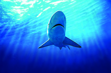 This year the Government is reviewing the national plan of action on sharks. Photo / Supplied