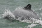 Maui's dolphin swim near the shore of Port Waikato. Photo / Glenn Jeff