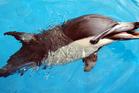 Kelly the dolphin at Marineland in Napier. Photo / File / Glenn Taylor