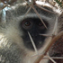 Sometimes the animals come to you. This vervet monkey was playing in trees at the Shishangeni Lodge. Photo / P.K Stowers