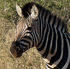 Zebra stripes come in different patterns and are unique to each individual. Photo / P.K Stowers