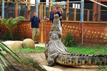 Given the chance a crocodile will bite the hand that feeds it, believes Brian Copland. Photo / Supplied