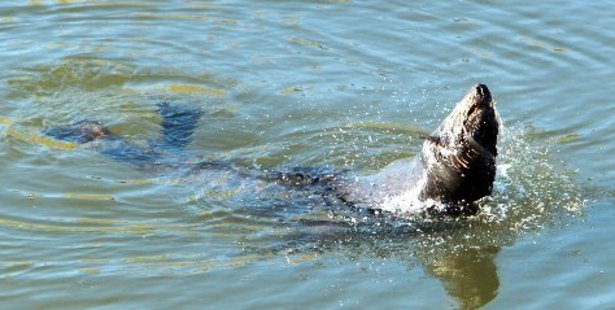 The seal appeared in Karamu Stream near Whakatu yesterday, taking a relaxing break from its usual sea environment. Photo / Glenn Taylor