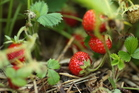You should only grow young strawberry plants - and replace after three seasons. Photo / Thinkstock