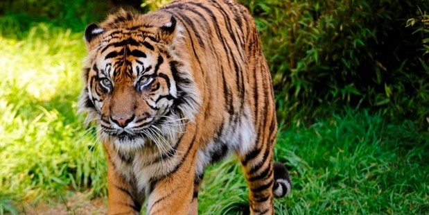 Rokan the Sumatran tiger at Wellington Zoo. Photo / Supplied