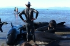 Stranded whales are helped by volunteers at Farewell Spit Tuesday. Photo / Supplied Project Jonah New Zealand