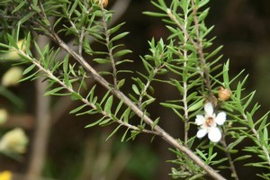 Here in NZ, the native manuka is a firm favourite when smoking fish. Photo / Jennie Milsom