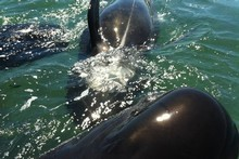 All surviving whales have been refloated. Photo / Supplied