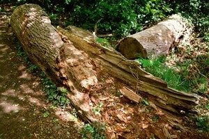 A rotten tree has fallen and killed a man in Wharerata forest. Photo / Thinkstock
