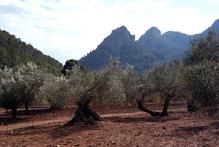 An olive grove in mountainous, northern Mallorca. Photo / Thinkstock