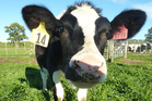 AgResearch scientists have bred Daisy, the first cow in the world to produce high protein milk that may be hypo-allergenic. Photo / Supplied