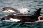 Orca spotted on a Whale and Dolphin safari. Photo / Supplied