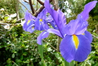 The Dutch iris adds spring colour to a deciduous food forest. Photo / Meg Liptrot