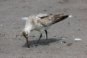 A bar-tailed godwit has spent the past week at the New Plymouth foreshore after it's epic flight from Alaska. It's here alone and isn't the usual place for it to be. Photo / Suzi Hurley