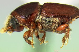 The scolytid beetle carries disease spores from tree to tree. Photo / Supplied