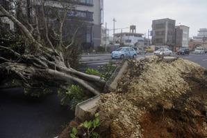 A roadside tree fallen by strong winds lies in Urasoe city as Typhoon Jelawat hit the southern Japanese prefecture of Okinawa. Photo / AP