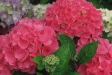 Hydrangea cuttings should be taken in November. Photo / NZ Herald