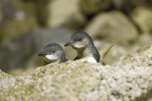 Little Blue Penguins. Photo / File
