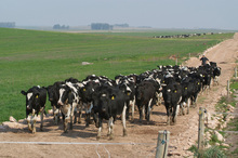 Cows at one of NZ Farming Systems Uruguay properties in South America. Photo / Supplied