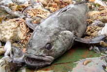 Large Antarctic toothfish are becoming increasingly rare in the Ross Sea. Photo / RossSea