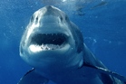 In some parts of the ocean the great white shark is vulnerable to extinction. Photo / AP