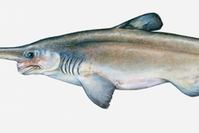 The liver of the goblin shark makes up a quarter of its body weight. Image / Thinkstock