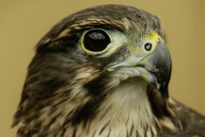 The karearea, or New Zealand falcon, won the 2012 title. Photo / Alan Gibson