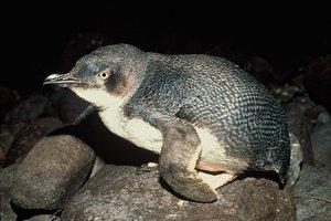 Little Blue Penguin. Photo / NZ Herald