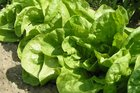 You might go through several varieties of lettuce before you find one that suits your growing conditions. Photo / Supplied