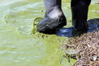 Toxic algae bloom concentrated around the southern margins of Lake Tutira, on state highway 2 between Napier and Wairoa. Photo / Paul Taylor