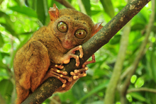 A tarsier is a little fluffball with the tail of a rat, swivelling head of an owl and eyes so freakishly large, they belong in a cartoon. Photo / Thinkstock