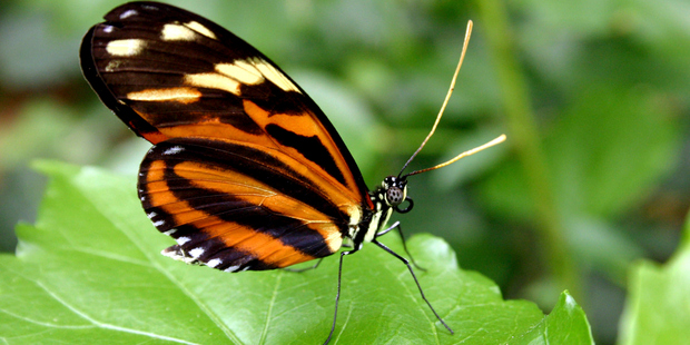 A Heliconius hecale butterfly. Photo / Thinkstock