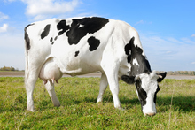 Milk is the superfood of superfoods - and if you drink it straight from the cow, you can taste the sun and smell the grass, too. Photo / Thinkstock
