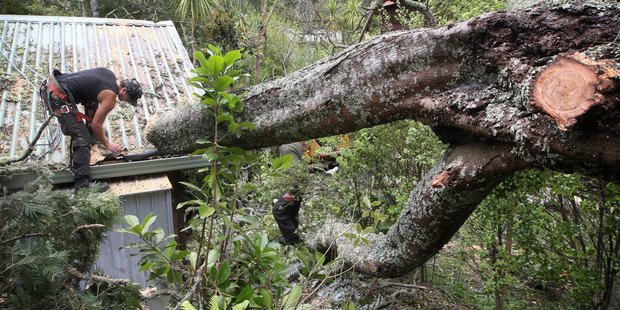 Tree worker Patrick Schollum cuts up the wattle that came down in Birkenhead yesterday. Photo / Natalie Slade