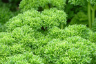 Be wary of over or underwatering your parsley and using too much fertiliser. Photo / Supplied