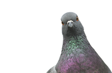 In 1907, instead of aerial drones, a German photographer used pigeons to capture aerial images. Photo / Thinkstock