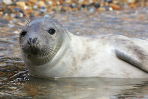 The Senate Standing Committee on Fisheries and Oceans called for the 'targeted removal' of grey seals. Photo / Thinkstock
