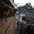 An Indian worker unloads goats from a truck at a temporary roadside shelter ahead of the Muslim festival of Eid al-Adha in Hyderabad, India. Photo / AP