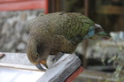 One of Arthur's Pass' popular residents, a kea, pulls apart a sign. Photo / Paul Harper