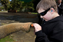 Logan Mennie, 9, gets up close and personal with Burma the elephant at the Auckland Zoo, as part of Blind Week.