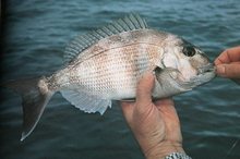 Dry hands have prompted the brown stress marks on this small snapper. Photo / Geoff Thomas