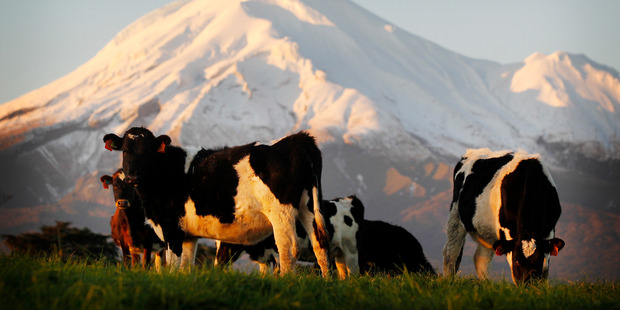 Fonterra's share and unit prices both fell sharply this morning.  Photo / Christine Cornege