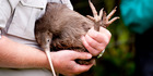 View: Photos: Rare kiwi go bush