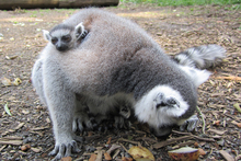 The lemur twins and their mum at Hamilton Zoo. Photo / Supplied