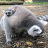 Mother lemur, Yetta, and her twins at Hamilton Zoo. Photo / Supplied