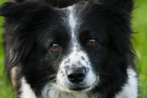 The dog, a collie, is expected to survive. Photo / File / Thinkstock